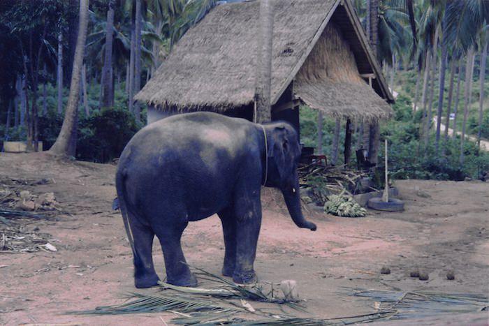 エレファント・トレッキング用の象
