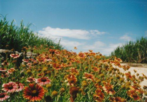 さとうきび畑と花