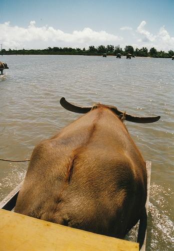 西表島で水牛に乗って由布島へ