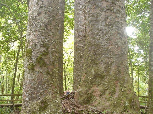 カウリの森 - ニュージーランド