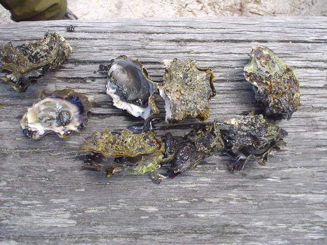 エイベル・タスマン国立公園で採った牡蠣