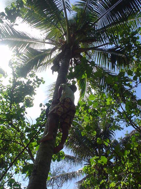 ヤシの木に登る