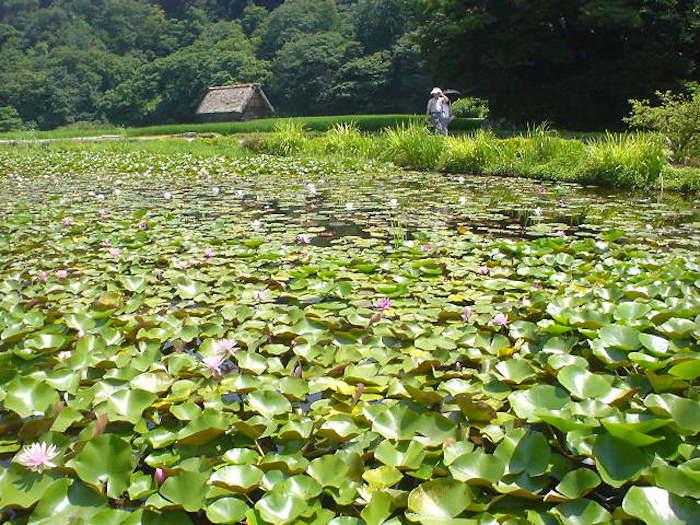 初夏の白川郷では蓮の花が咲いている