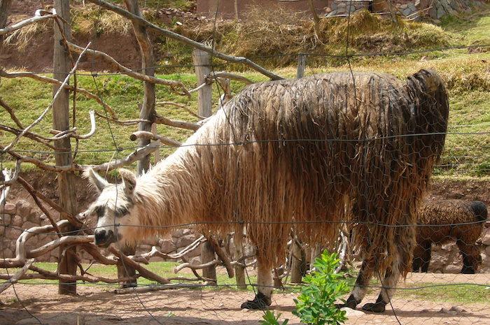 アルパカ 毛の長いスリ