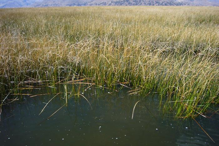 チチカカ湖に茂るトトラ