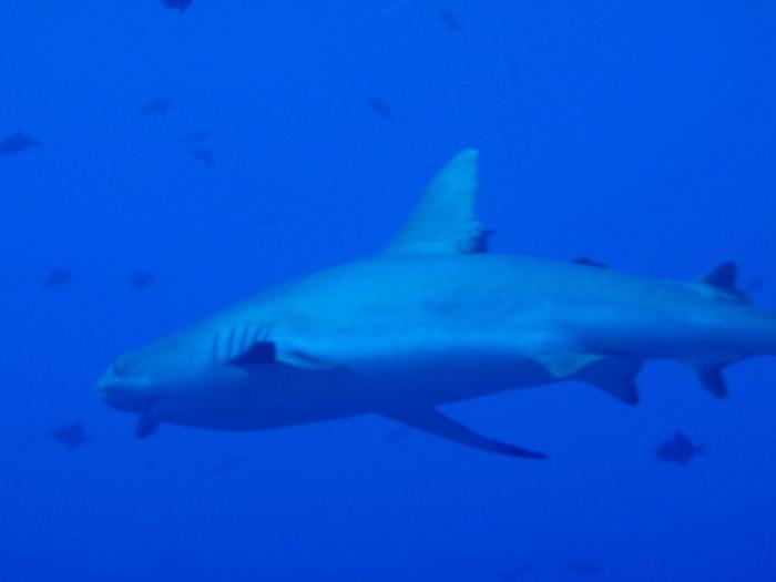 目の前にサメ - ブルーコーナー - パラオダイビング
