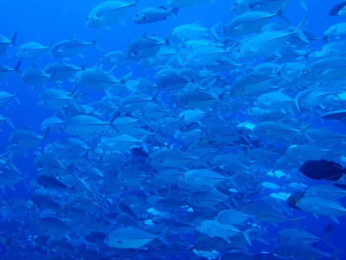 ギンガメアジの群れ - ブルーコーナー - パラオダイビング