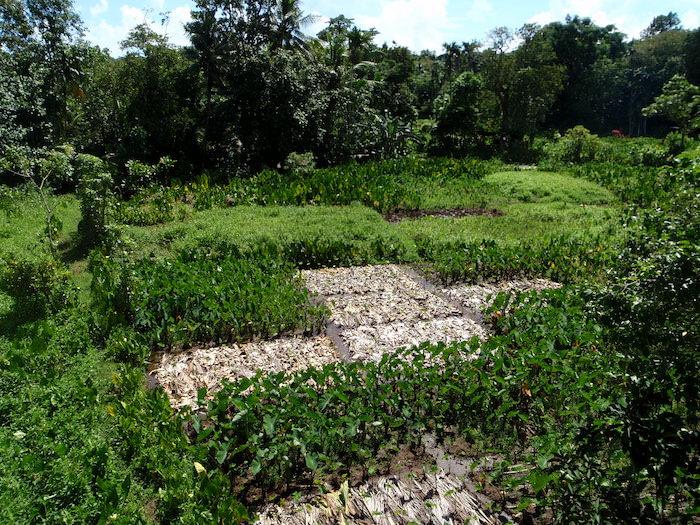 パラオ プランテーションリゾートから見えるタロイモ畑