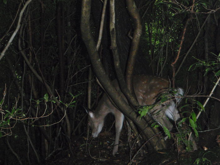 野生の鹿 - 縄文杉トレッキング