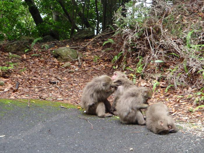 野生の猿 - 屋久島