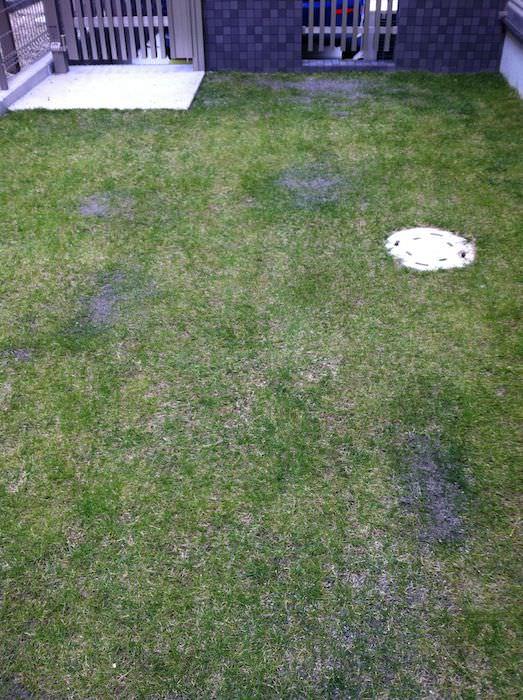 川砂入れたら砂利っぽくなった芝生