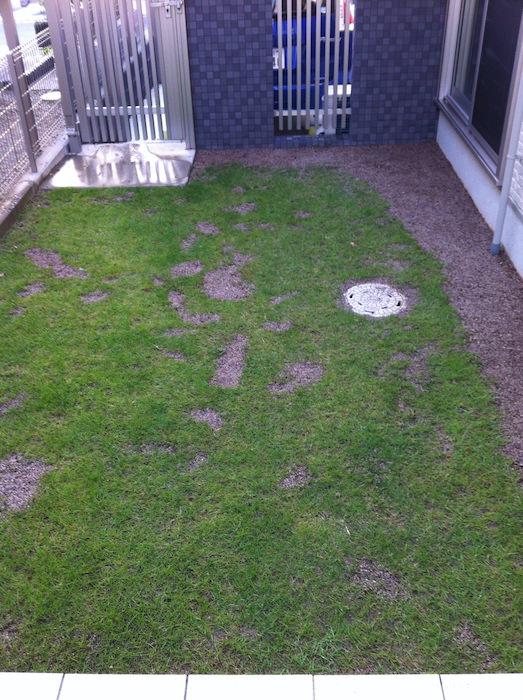 芝生の種まきやり直し