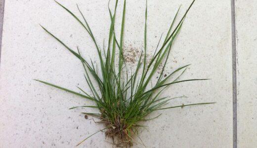 芝生のお手入れ:雑草抜いて苔はがしてたら土だらけになった