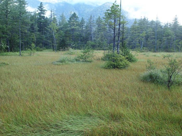 上高地の湿原