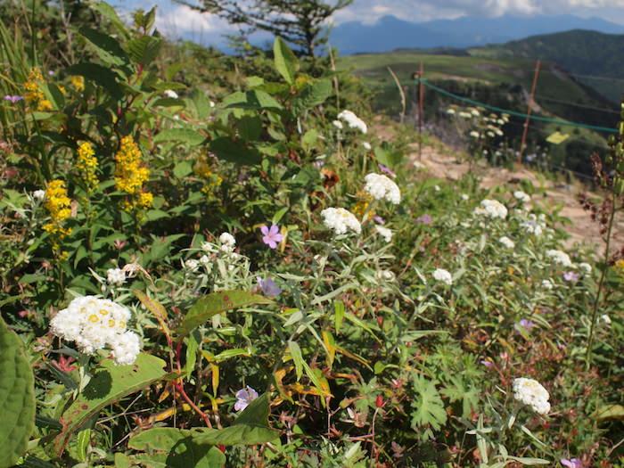 美ヶ原高原の高山植物