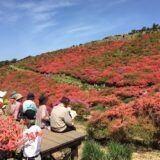 大和葛城山の満開で真っ赤なツツジ
