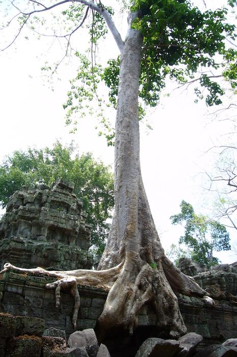 巨大な木が絡みつく - タ・プローム