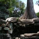 木が蛇のように絡みつく - タ・プローム