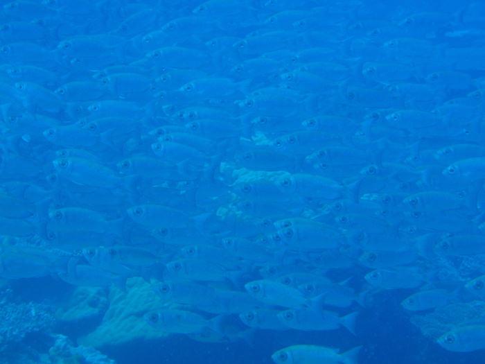 魚の群れ - グラスランド - パラオダイビング