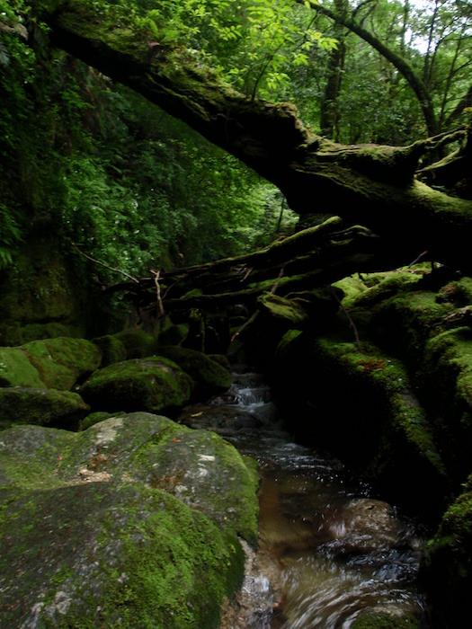 苔の森に川が流れてる - 白谷雲水峡トレッキング
