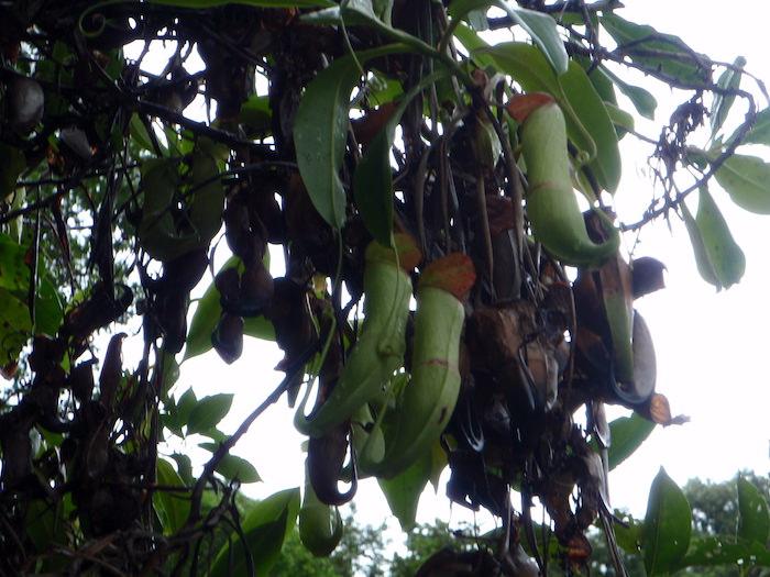 食虫植物 - パラオ シーカヤック探検ツアー